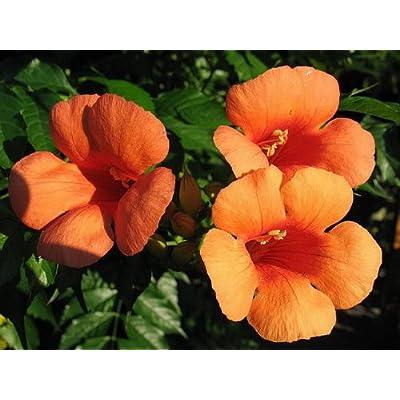 25 Orange HUMMINGBIRD TRUMPET CREEPER Campsis Radicans Vine Flower Seeds by Seedville: Toys & Games