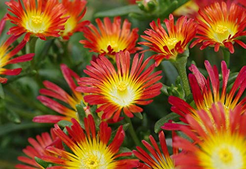 Fire Wonder Ice Plant Perennial Indoors or Out Delosperma AG002