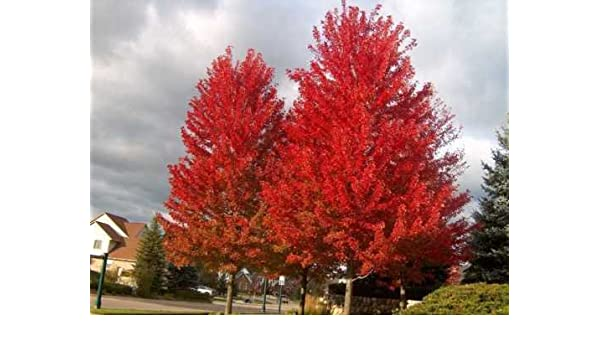 Amazoncom Red Maple Acer Rubrum 100 Tree Seeds Fall Color