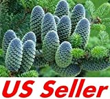 20 PCS Seeds Korean Fir Abies koreana T38, Rare Evergreen Tree Seeds