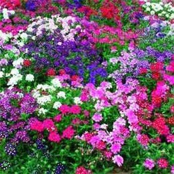 Outsidepride Verbena Mix 1000 Seeds product image