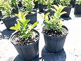 PlantVine Viburnum odoratissimum awabuki, Sweet Viburnum - Large - 8-10 Inch Pot (3 Gallon), Live Plant - 4 Pack