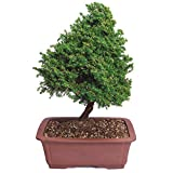 Brussel's Cryptomeria Bonsai - X Large - (Outdoor)