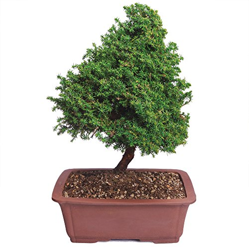 Brussel's Cryptomeria Bonsai - X Large - (Outdoor) by Brussel's Bonsai