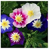 Dwarf Mixed Morning Glory Blooming Vine Seeds
