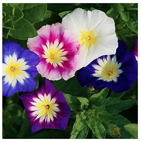 Dwarf Mixed Morning Glory Blooming Vine Seeds - Wonderful Ground Cover Morning Glory Non GMO and Neonicotinoid Seed by Marde Ross & Company