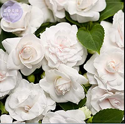White Impatiens walleriana Bonsai Flowers 40 Seeds Double Petals