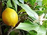 Meyer Dwarf Lemon Tree (2 Trees) Make Your Own Lemonade Full Size Fruit M4