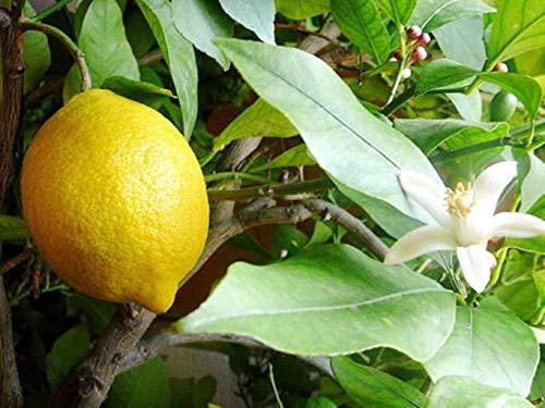 Meyer Dwarf Lemon Tree (2 Trees) Make Your Own Lemonade Full Size Fruit M4 by owzoneplant (Image #3)