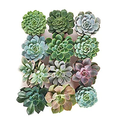 Shop Succulents | Radiant Rosette Live Plants, Hand Selected Variety Pack of Succulents | Collection of 12 in 4 pots, Pack of 12 : Garden & Outdoor