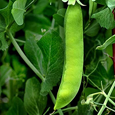 Early Frosty Pea Garden Seeds - Non-GMO, Heirloom Vegetable Gardening & Microgreens Shoots Seed