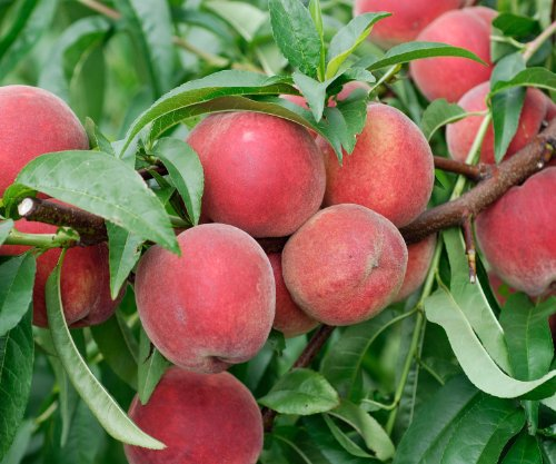 red-haven-dwarf-peach-tree-healthy-trees-1-each-plus-bonus