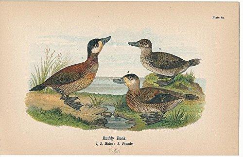 Ruddy Duck male & female lovely c.1890 color litho antique bird print (Ruddy Ducks)