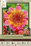 Netherland Bulb Company Floorinoor Anemone Flowering Dahlia, 2 Bulbs