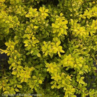 Daybreak Barberry : Garden & Outdoor