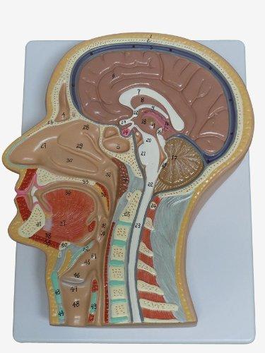 人体模型 頭部 頚部 等身大 正中断面模型 顔 脳 鼻 口 B00E1BPGWQ