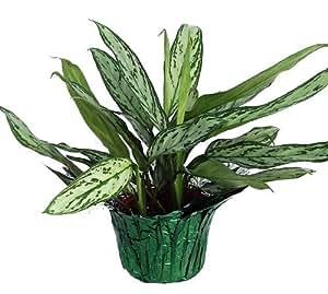 "Silver Queen Chinese Evergreen Plant - Aglaonema - 6"" Pot/Decorative Pot Cover"