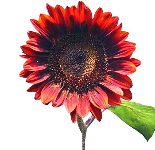 Red Sun Sunflower Seeds - Heads up to 6