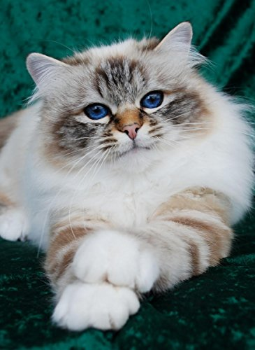 Quality Prints - Laminated 24x32 Vibrant Durable Photo Poster - Cat - Felonie Birmans Birman Cats Salisbury Wiltshire