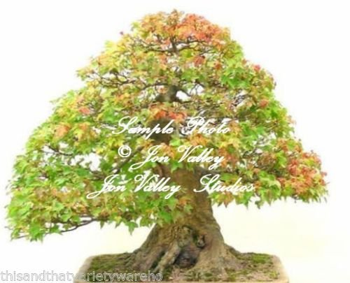 Acer Buergerianum Seeds Trident Maple Tree Bonsai -Standard Stunning Fall Color