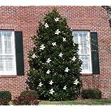 Magnolia LITTLE GEM, Dwarf Southern Magnolia Tree, Fragrant WHITE Flowers 4-5ft