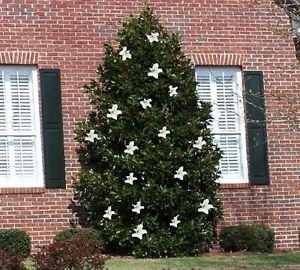 Amazon magnolia little gem dwarf southern magnolia tree magnolia little gem dwarf southern magnolia tree more compact size fragrant white flowers sciox Gallery