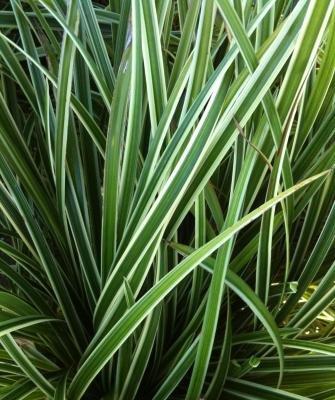 Carex Morrowii Ice - 4