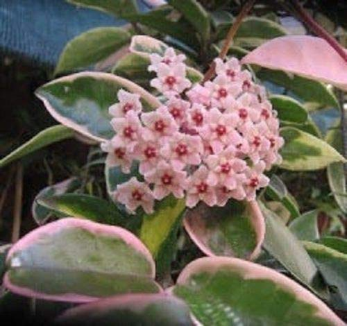 Details About Hoya Carnosa Variagata Tri Color - Rooted Plant
