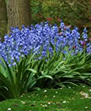 HYACINTHOIDES HISPANICA (10 Blue BULBS) A.K.A Wood Hyacinth or Spanish Bluebells