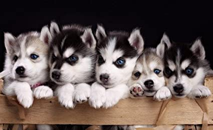 Amazoncom Cute Siberian Husky Puppies Glossy Poster Picture Banner