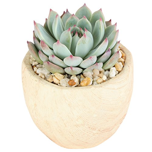 Costa Farms Live Succulent in Wood Design Ceramic Pot