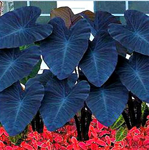 Heirloom Alocasia Macrorrhiza Green Giant Taro Seeds Indoor Plant Seeds 20pcs/Bag Grains/Lot Elephant Ear Taro Vegetable Seeds