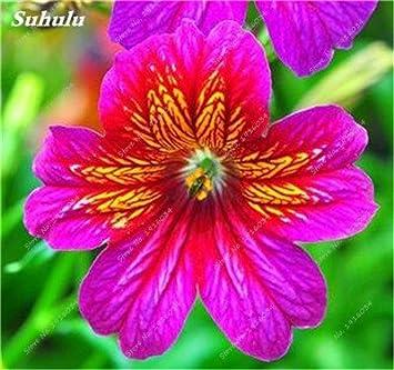 Amazon com : 100 Pcs Hanging Petunia Seeds Blue Morning Glory Seeds