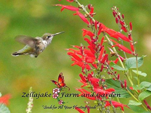 Salvia Scarlet Sage - Scarlet Sage Salvia Coccinea Grow Bright Red Flowers 800 seed