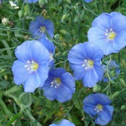 Flax Flower - Organic Flower seeds Blue Flax Sapphire (Linum grandiflorum) Len - 100 Seeds.