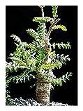 Boswellia neglecta - Frankincense - Borena Etan – Dakara - 1 Seeds