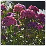 WhiteOak Photography Floral Prints - Beautiful pink Sweet Williams - MousePad (mp_49914_1)