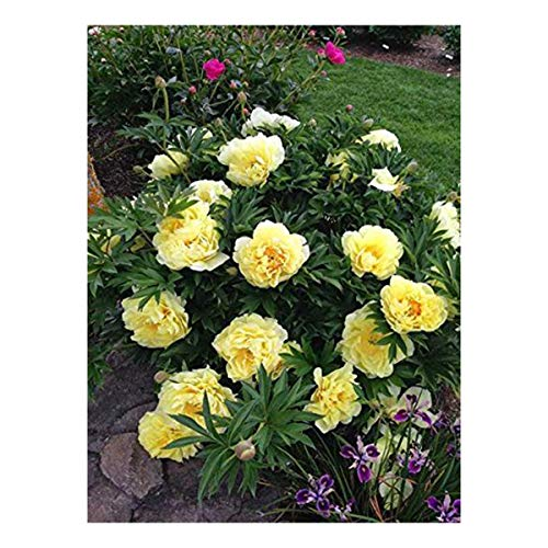 Burpee 'Bartzella' Itoh Perennial Peony - 1 Bare Root 3-5 Eye Plant by Burpee (Image #1)