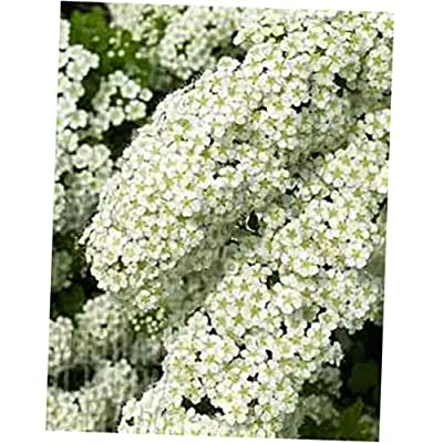 "YOV Fresh Rooted Spiraea""Halwards Silver"" White Flowering Shrubs, Bridal Wreath- RK158 (6 Rooted Plant) : Garden & Outdoor"
