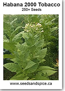 DelGold (Nicotiana tabacum) 250+ Seeds: Amazon ca: Patio