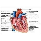 Poster 30 x 20 cm: Anatomy of heart interior, frontal section by Stocktrek Images/Stocktrek Images art print, new art poster