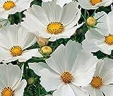 COSMOS SONATA WHITE DWARF Cosmos Bipinnatus - 1,000 Bulk Seeds