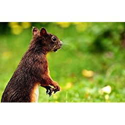 Gifts Delight LAMINATED 37x24 inches POSTER: Squirrel Nager Cute Nature Rodent Animal Tree Fur Gnaw Climb Brown Possierlich Small Animal Wildlife Photography Food
