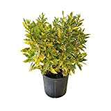PlantVine Codiaeum variegatum 'Gold Dust', Croton - Medium - 6 Inch Pot (1 Gallon), 4 Pack, Live Indoor Plant