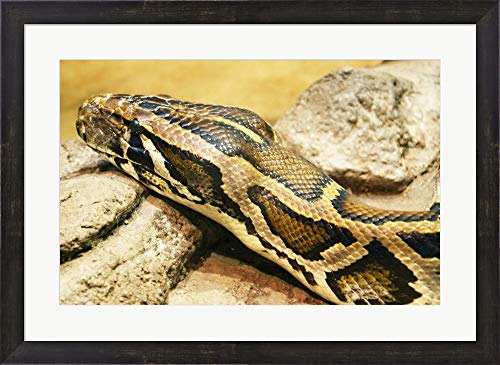 - Burmese Python Head Framed Art Print Wall Picture, Espresso Brown Frame, 26 x 19 inches