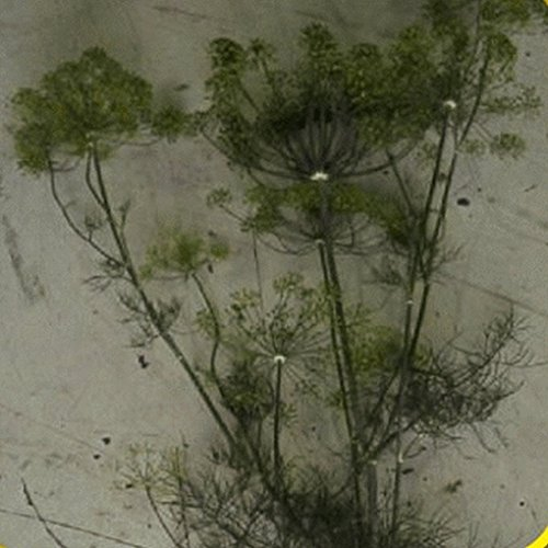 07 Bouquet (Everwilde Farms - 1 Lb Bouquet Dill Herb Seeds - Gold Vault)