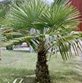 Windmill Palm Tree Seeds 15 Seeds Upc 646263362655