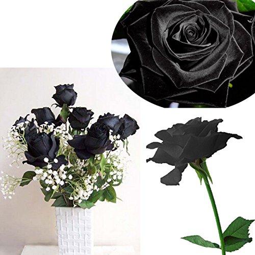 Bluelover 20 Noir Rose Fleur Rose2 Graines
