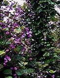 "Hyacinth Bean Vine RUBY MOON 15"" tall Live Plant"""
