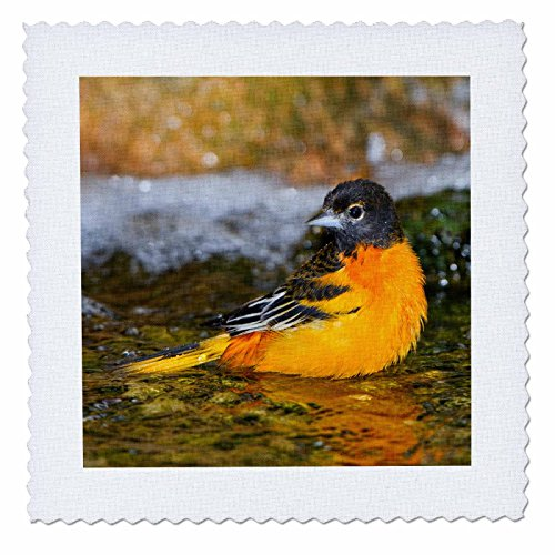 3dRose qs_207198_3 Baltimore Oriole Male Bathing, Marion, Illinois, USA Quilt Square, 8 by ()